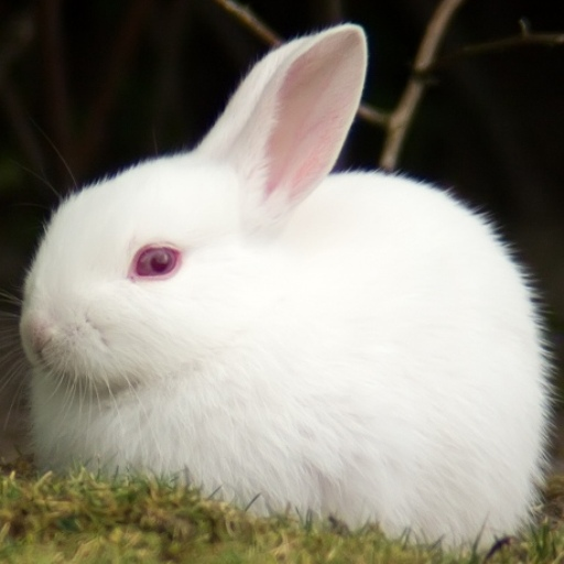 Rabbit**