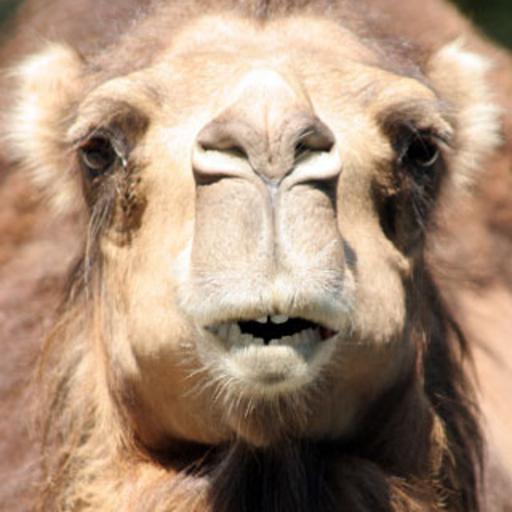 Camello que habla