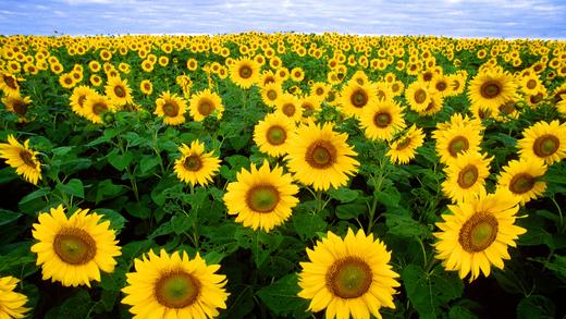 Blooming Flowers -