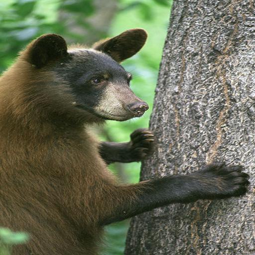 Bear Species Pocket Book