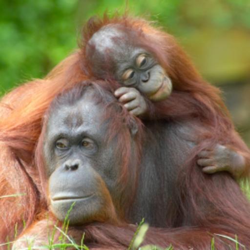 Orangutan Family Slide Puzzle