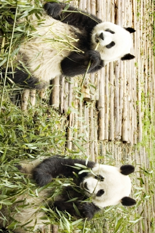 Giant Pandas Slide Puzzle screenshot #1
