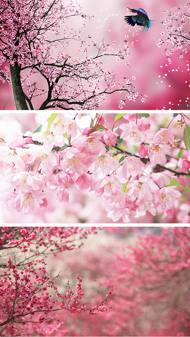 Sakura Wallpapers, Japanese Cherry Blossom Flowers screenshot 3